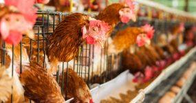 سیستم های گرمایشی در مرغداری ها